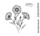 hand drawn wild hay flowers.... | Shutterstock .eps vector #1081033949