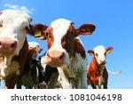 calves on the field | Shutterstock . vector #1081046198