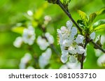 the cherry blossoms in spring... | Shutterstock . vector #1081053710