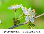 the cherry blossoms in spring... | Shutterstock . vector #1081053716