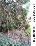 Small photo of small branch boughs of aesculus hippocastanum tree