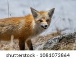 Small photo of A Red Fox in Colorado Snarl