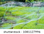 rice field in the tested rice... | Shutterstock . vector #1081127996
