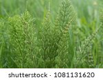 equisetum arvense  the field...   Shutterstock . vector #1081131620