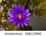 Purple Water Lily Flower  Lotu...