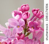 flowers of lilac. spring summer.... | Shutterstock . vector #1081176506