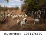 goat breeding in the caatinga ...   Shutterstock . vector #1081176830