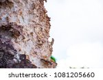 chameleon catch on the rock  ... | Shutterstock . vector #1081205660