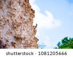 chameleon catch on the rock  ... | Shutterstock . vector #1081205666