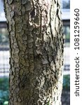 Small photo of tree trunk of aesculus hippocastanum laciniata