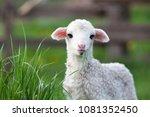cute little lamb grazing | Shutterstock . vector #1081352450
