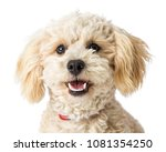 closeup white mixed breed... | Shutterstock . vector #1081354250
