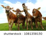 a herd of young brown cows...   Shutterstock . vector #1081358150