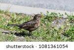 female common or eurasian... | Shutterstock . vector #1081361054