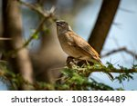 grey capped social weaver bird... | Shutterstock . vector #1081364489