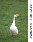 a chinese white goose walking... | Shutterstock . vector #1081366154