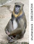 young male mandrill | Shutterstock . vector #1081369244