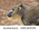 young male mandrill | Shutterstock . vector #1081369250