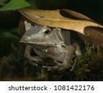 solomon island leaf frog