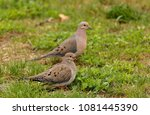 Mourning Doves On The Ground