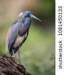 tricolored heron im florida  | Shutterstock . vector #1081450133