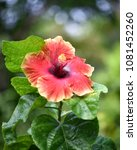 flower at garden botany bay ...   Shutterstock . vector #1081452260