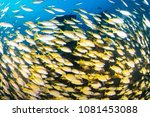 Small photo of School of Snapper on a shipwreck on a tropical coral reef