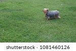 brown dog running in park   Shutterstock . vector #1081460126