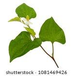 houttuynia cordata chameleon... | Shutterstock . vector #1081469426