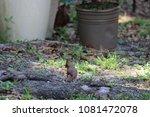 female northern cardinal... | Shutterstock . vector #1081472078