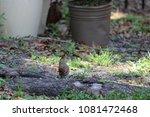 female northern cardinal... | Shutterstock . vector #1081472468