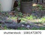 female northern cardinal... | Shutterstock . vector #1081472870