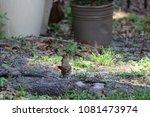 female northern cardinal... | Shutterstock . vector #1081473974
