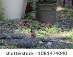 female northern cardinal... | Shutterstock . vector #1081474040