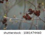 Small photo of Nature closeup Alder tree cones Alnus Catkins