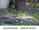 female northern cardinal... | Shutterstock . vector #1081476314