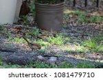 female northern cardinal... | Shutterstock . vector #1081479710