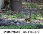 female northern cardinal... | Shutterstock . vector #1081480370