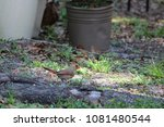 female northern cardinal... | Shutterstock . vector #1081480544