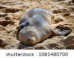 a monk seal pup resting on the... | Shutterstock . vector #1081480700