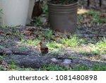 female northern cardinal... | Shutterstock . vector #1081480898