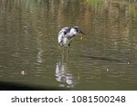 grey heron catching a fish and... | Shutterstock . vector #1081500248