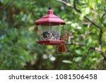 female northern cardinal... | Shutterstock . vector #1081506458