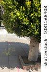 Small photo of Prunus Lusitanica (Portuguese laurel) sidewalk tree pruned round partial image