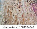 Dry Gypsophila Flower