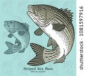 Striped Sea Bass. Vector...