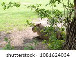 capybara in the middle of trees ... | Shutterstock . vector #1081624034