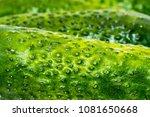 green cucumbers  vegetables | Shutterstock . vector #1081650668