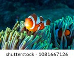 Colorful Clownfish Hiding In...
