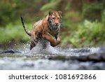 siberian tiger  panthera tigris ... | Shutterstock . vector #1081692866